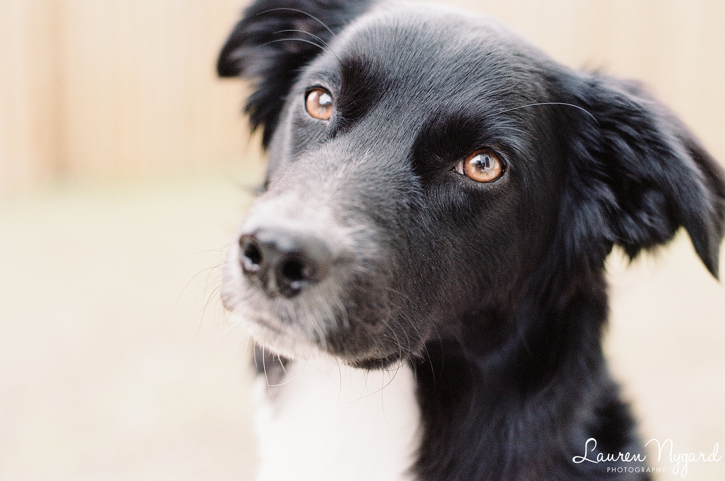 Border Collie mix rescue puppy dog photo