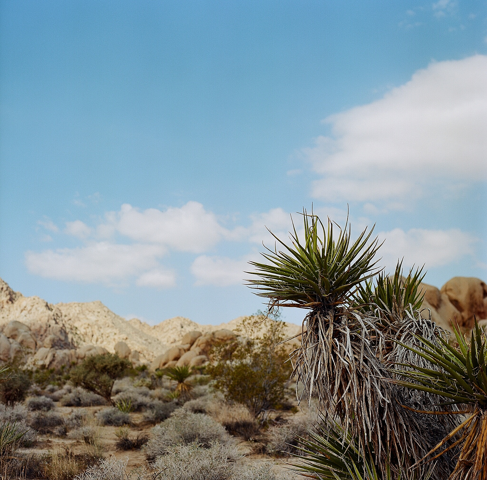 Joshua Tree on Ektar film-001